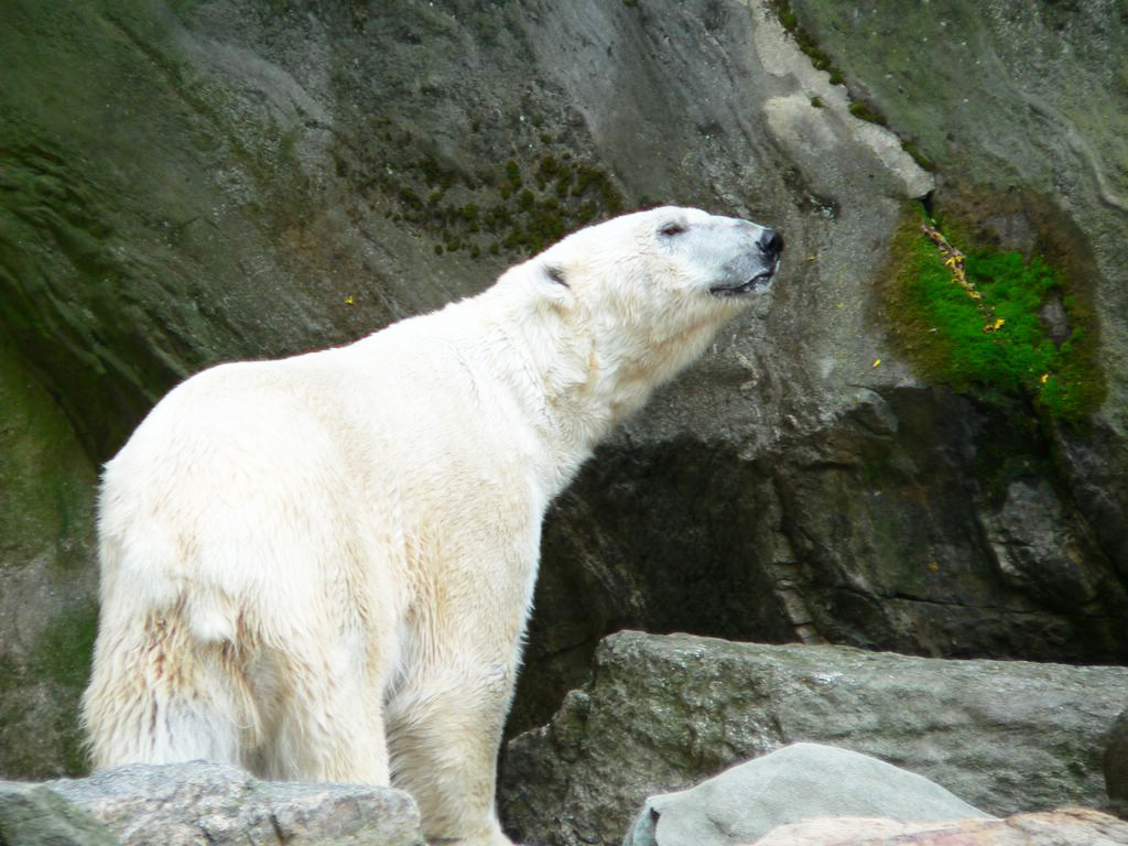 Researchers out to hire £400,000 polar bear counter