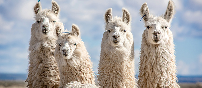 Could llamas be the key to overcoming coronavirus?