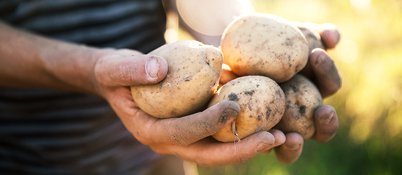 Rec agency pulled in to save UK's best-loved potatoes